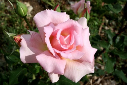 Pink Rose Bud (fully open)