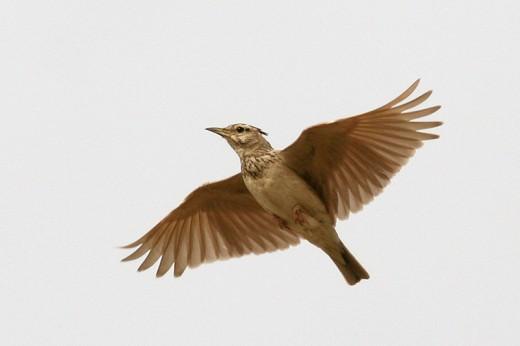 A lark