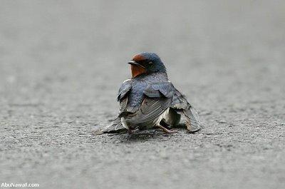 An injured swallow