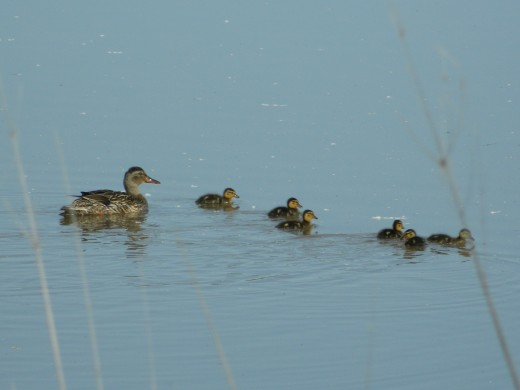 Female mallard with ducklings on May 14