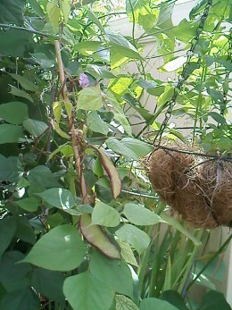 Hyacinth bean.