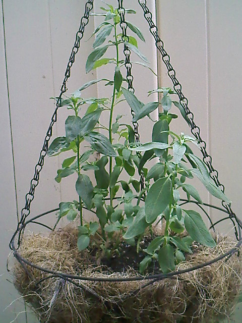 And so I thought I should do some experiment, a hanging snapdragon.