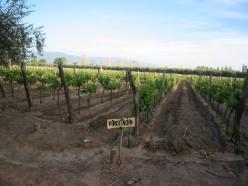 Pinot Noir Grape Plantings