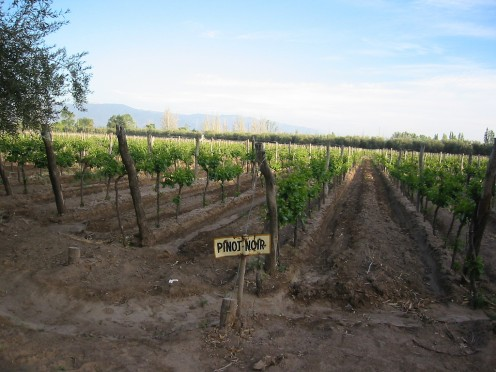 Pinot Noir Grape Plantings