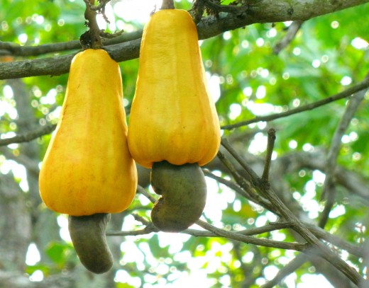 The fruit of the cashew tree