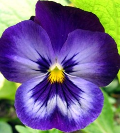 Pansy's Paramour