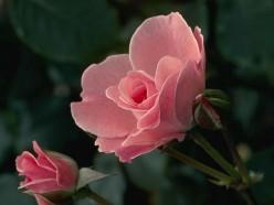 Haiku: Rose