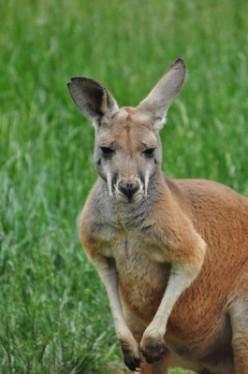 Phantom Kangaroos in North America
