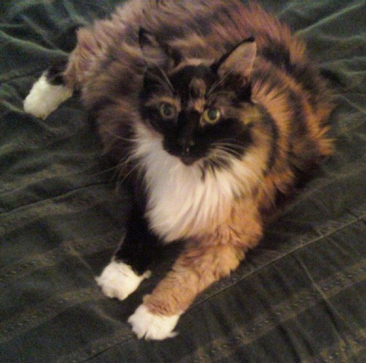 Patches AKA:  Big Momma is a beautiful tortoise shell calico with the most adorable front paws I've ever seen!  She passed away 9/11/12.  RIP Patches - we will miss you.