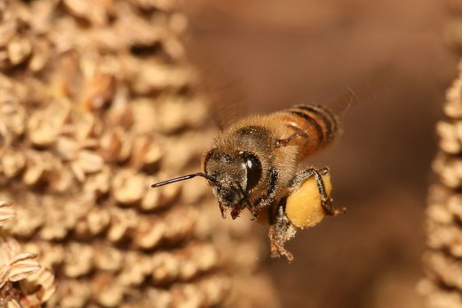In this photo you can see a honey bee carrying pollen back to the bee hive.