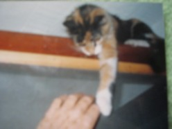 Sheba as a kitten defying my efforts to get her down to my level