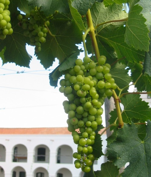 Torrontes Riojano Grapes