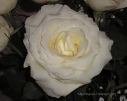 5 Flower Haikus about a White Rose