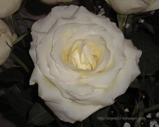 White rose in full bloom inspired these flower haikus.
