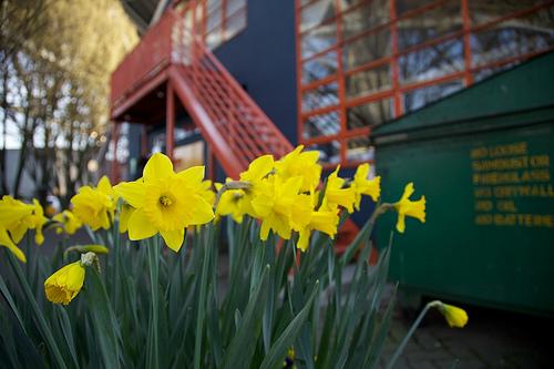 Daffodils—Hub (Flickr.com)