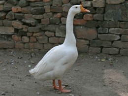 Why does a goose has a long neck?