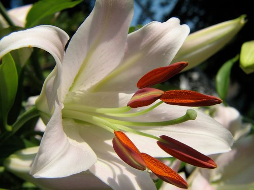 Stargazer Lily With Raindrops—audreyjm529 (Flickr.com)