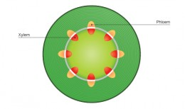 Plant cross section (should remember from previous unit)