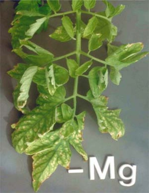 A tomato plant deprived of magnesium.