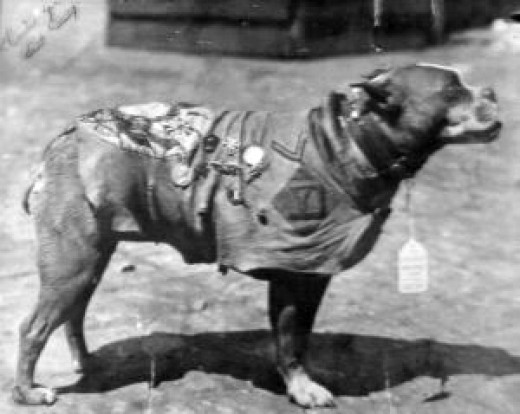 Sergeant Stubby with his chamois coat and medals.