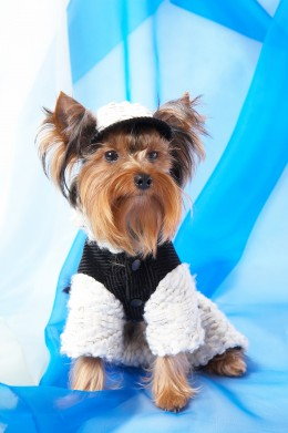 YORKSHIRE TERRIER by Irinasafronova Yorkshire Terrier in the jacket and cap