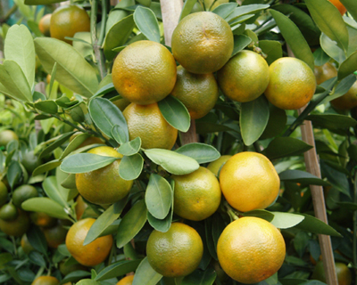 Calamansi can be made into juice, use in cooking and as an alternative remedy.
