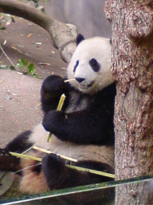 Giant Panda in San Diego Zoo