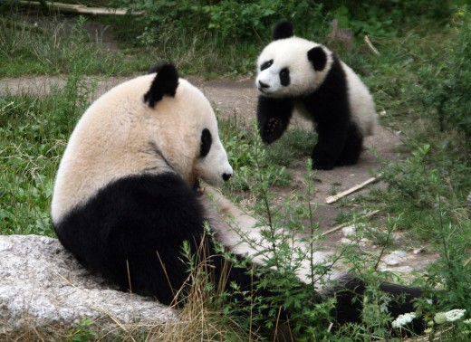 Giant Panda (female adult and young bear of 10 months) at the Tiergarten Schönbrunn in Vienna