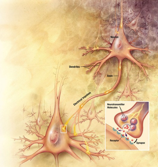 Neurons and Electrochemical Impulses