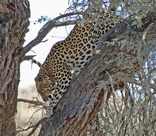 The rarest of the Big Five-Nocturnal Leopard