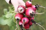 Fresh radishes add crispness and flavour