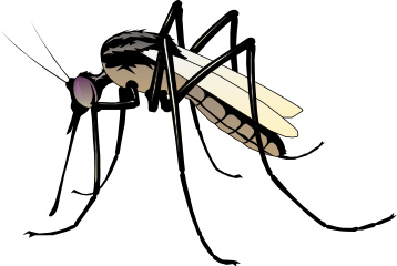 Only the female mosquito sucks blood.