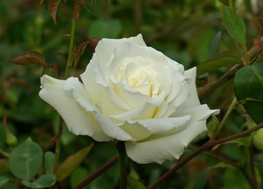 Rose Hybrid Tea