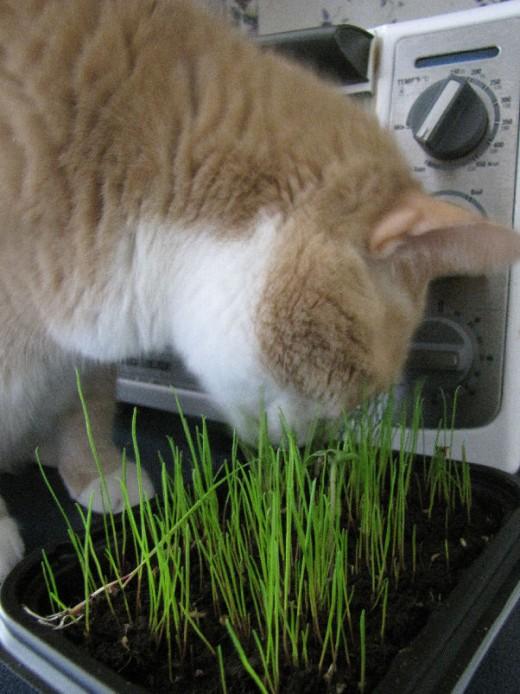 My cat enjoying the grass.
