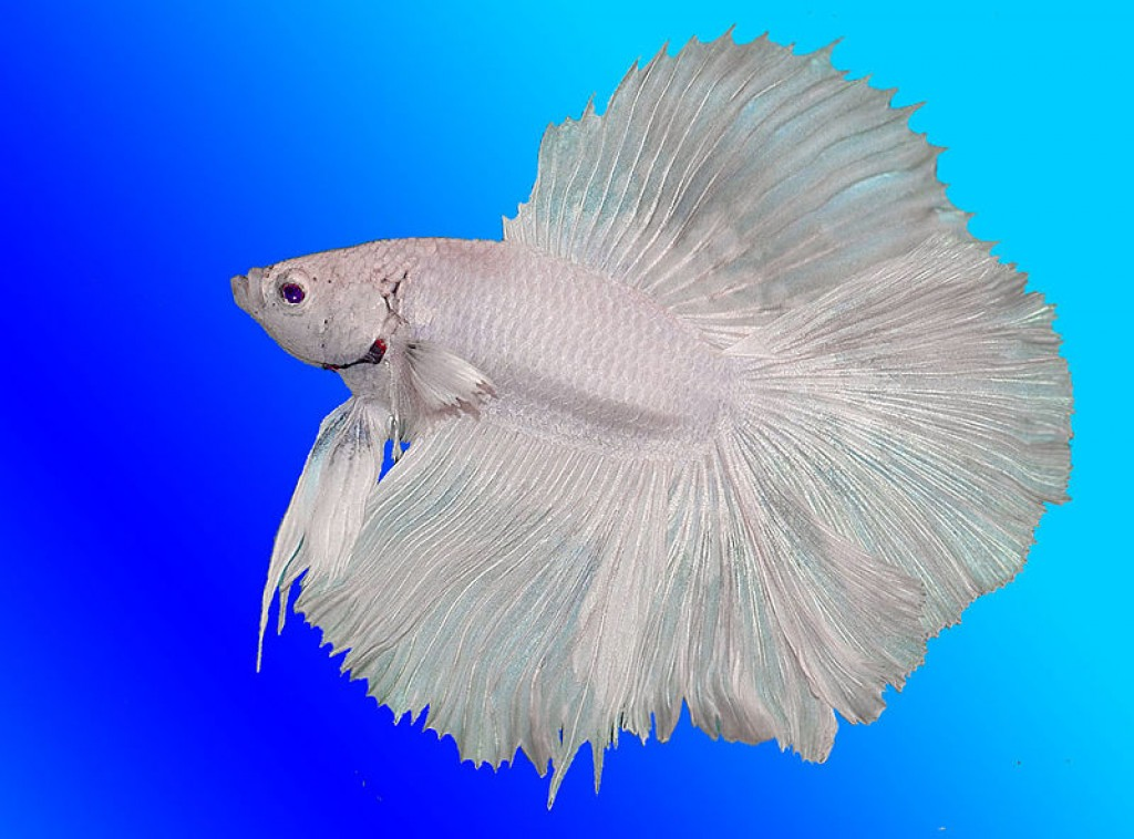 6634337 for Fish that can live with betta fish
