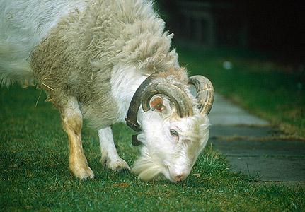 Sheep Goat Hybrid