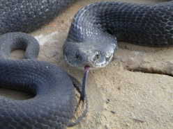 Snakes Alive! : Serpents of Southeastern Georgia