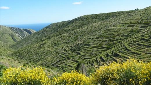 Lavender fields on Hvar