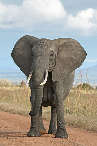 The huge ears of an African Elephant help with dispelling heat in the stifling tropical sun.