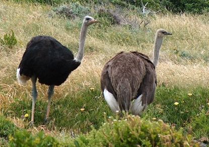 An ostrich pair- the male has black feathers, while the female has brown.