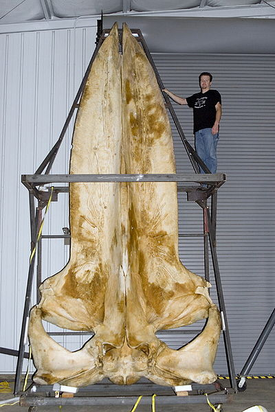 A blue whale skull alone dwarfs an average sized human male.