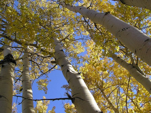 These quaking aspens all grow from the same root system, making them clones, thus making them heaviest organism on the planet, weighing over 6000 tons.