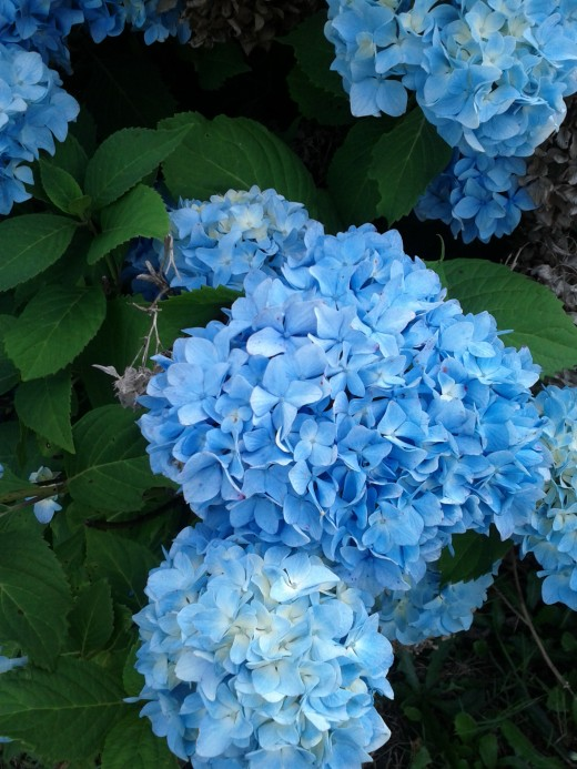 Fresh and Bright Blue Blooms On A Late Spring Day