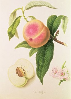 Fruit crate label art Peaches