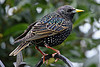 Starlings love all kinds of worms, caterpillars, slugs and snails!