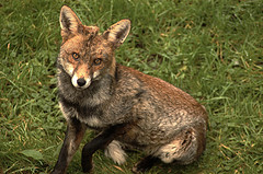 Foxes are very fond of grubs, slugs and snails.