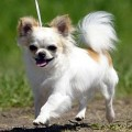 Small Dog Dental and Gum Problems : How To Clean Teeth