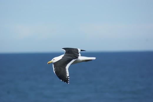 A Kelp Gull doing a flypast