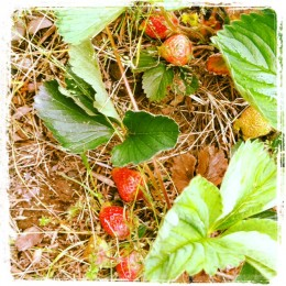 Strawberry plants in my yard, part of an edible landscape! May 2012