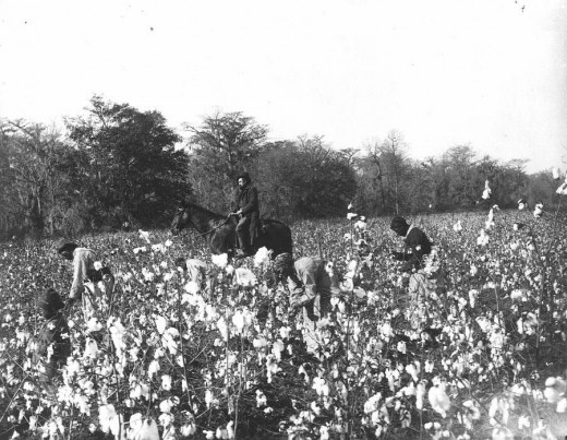 Picking cotton while the overseer rides a horse  (Photographer unknown, ca. 1895)